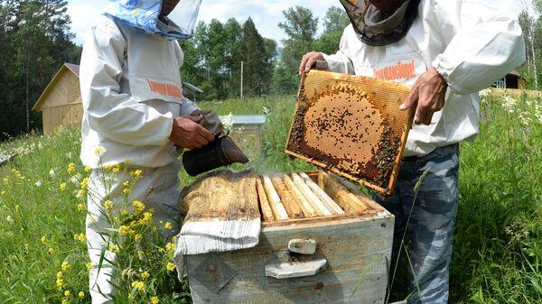 Работа с пчелами в рамочном улье на пасеке