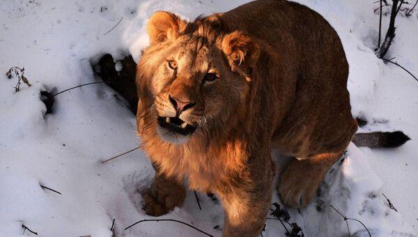 Один их четырех полуторагодовалых африканских львов, которых привезли из крымского парка львов Тайган, осваивает новую территорию в Приморском сафари-парке во Владивостоке
