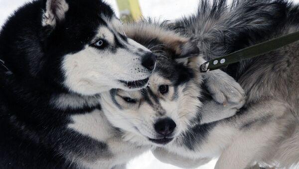 Собаки участников гонок на собачьих упряжках во время соревнований по ездовому спорту в Новосибирске