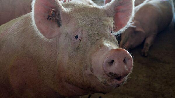 Свинья в загоне. Архивное фото