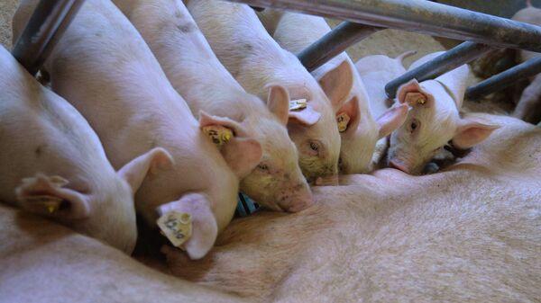 Поросята на площадке свинокомплекса