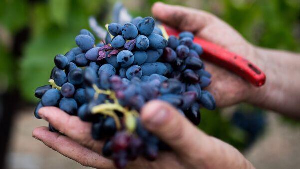 Сбор урожая на виноградниках