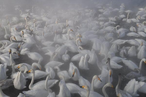 Лебеди-кликуны зимуют на Лебедином озере на территории государственного природного комплексного заказника Лебединый в Алтайском крае