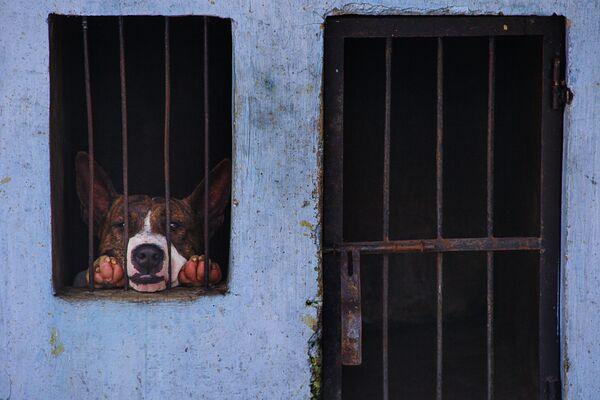 Собака - участник ежегодного охотничьего турнира Аду Багонг в Индонезии