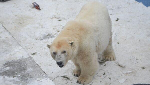 Медведица Амдерма в зоопарке Перми. Архивное фото