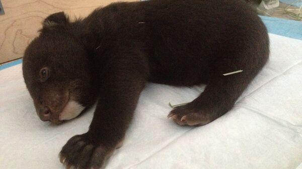 Гималайский медвежонок. Архивное фото