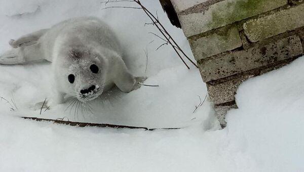 Серый тюлень, спасенный в Финском заливе. архивное фото