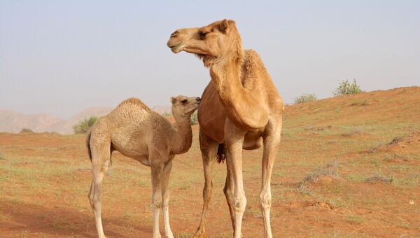Самка верблюда с детенышем в ОАЭ