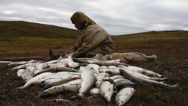 Ненец чистит пойманную рыбу, полуостров Канин, Ненецкий автономный округ