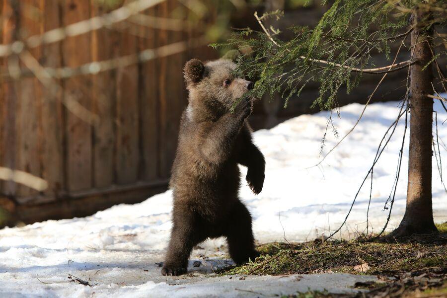 Медвежонок-сирота Маша на биостанции Чистый лес, деревня Бубоницы, Тверская область