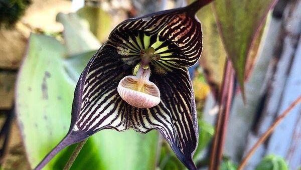 Орхидея-вампир из Эквадора во время цветения в Ботаническом саду МГУ Аптекарский огород. 8 апреля 2018