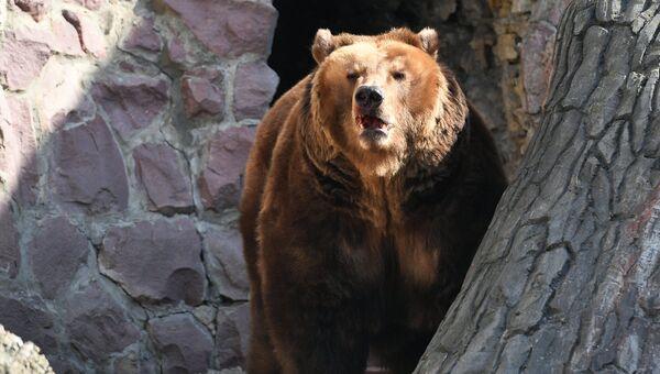 Медведь, проснувшийся после зимней спячки, в Московском зоопарке. 16 апреля 2018