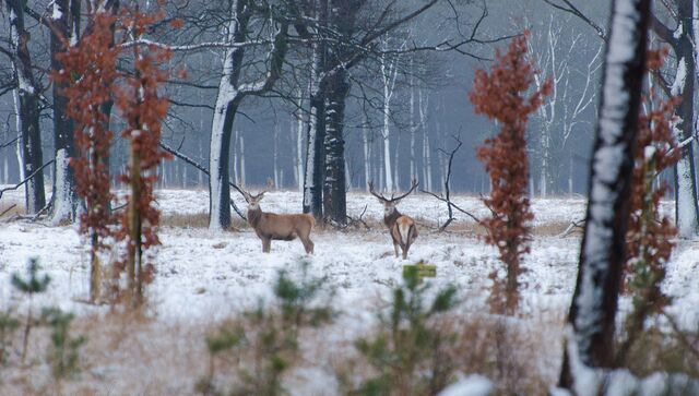 Семейство пятнистых оленей в парке Де-Хоге-Велюве (Нидерланды)