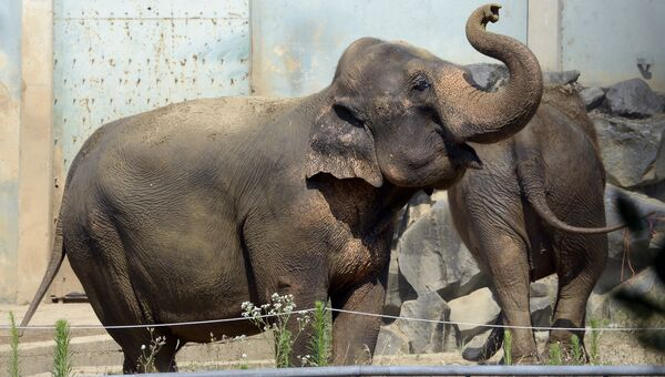 Слон Непал. Архивное фото