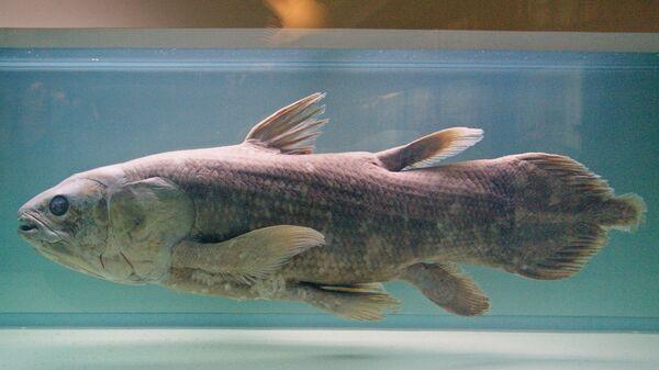 Латимерия в музее естественной истории в Нанте