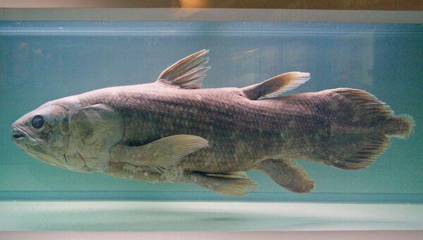 Рыба Латимерия в музее естественной истории в Нанте