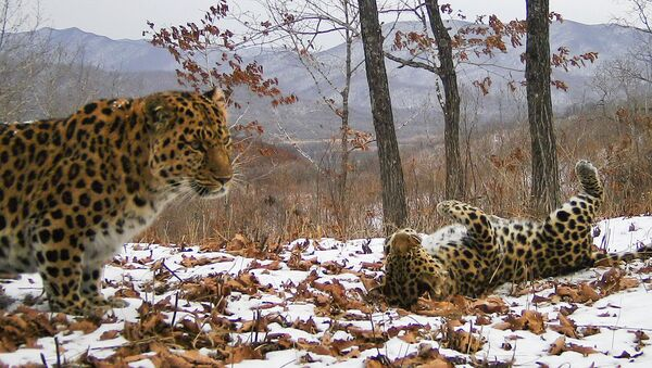 Фотоловушки запечатлели брачные игры дальневосточных леопардов