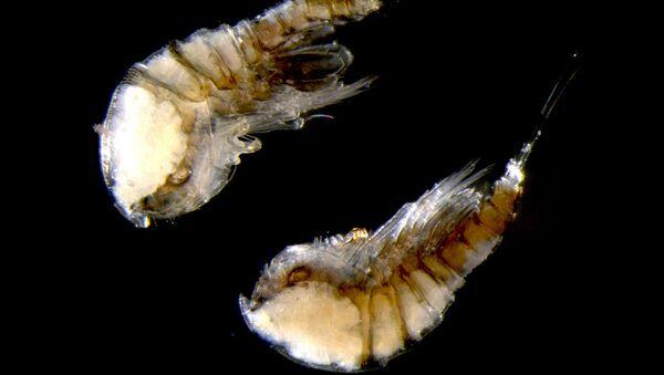 Harpacticoida Copepoda