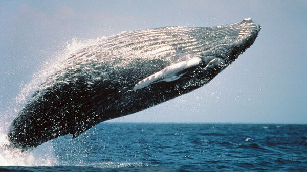 Горбатый кит, выпрыгивающий из воды. Архивное фото