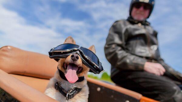 Собака в коляске мотоцикла