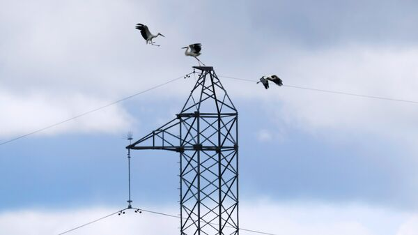 Аисты на линии высоковольтных передач ФСК ЕЭС в Амурской области. Архивное фото