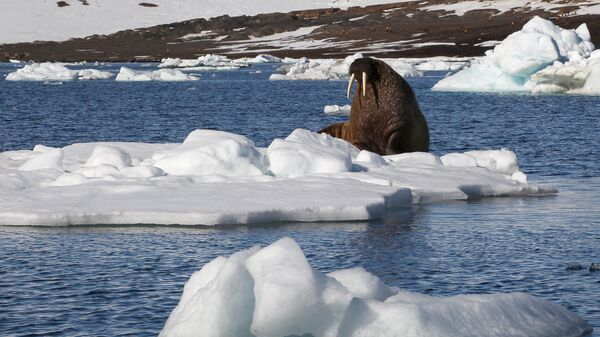 Морж на льдине у берегов одного из островов архипелага Земля Франца-Иосифа