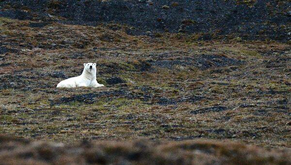 Эксперт: планируется осуществить авиаучет белого медведя
