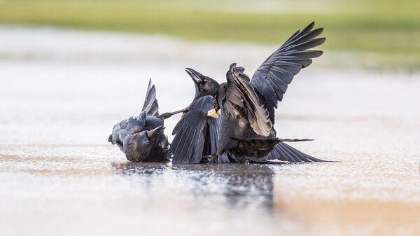 Вороны во время драки