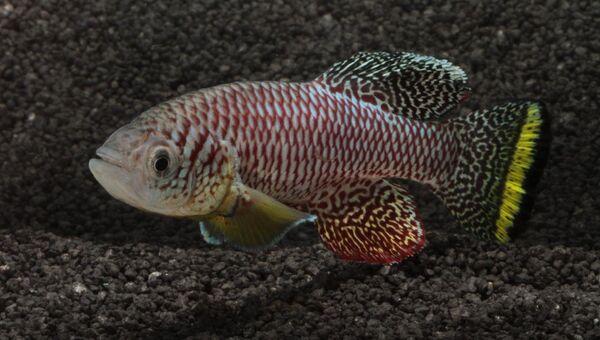 Рыбка-килли, взрослеющая всего за две недели