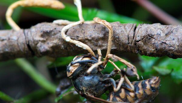 Биологический образец гриба-убийцы на осе, во время исследования паразитических грибов на базе ФГБУ Земля леопарда