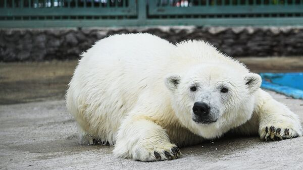 Белая медведица Умка-Аяны в вольере Московского зоопарка. 16 августа 2018