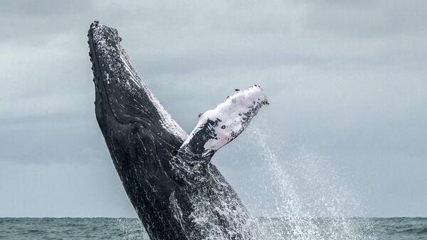 Горбатый кит выпрыгивает на поверхность Тихого океана в Национальном парке Урамба, Колумбия. 12 августа 2018 года