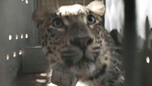 Самец переднеазиатского леопарда Артек выпущен в дикую природу в Кавказском заповеднике