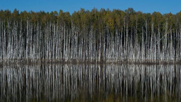 Березовый лес в Подмосковье. Архивное фото