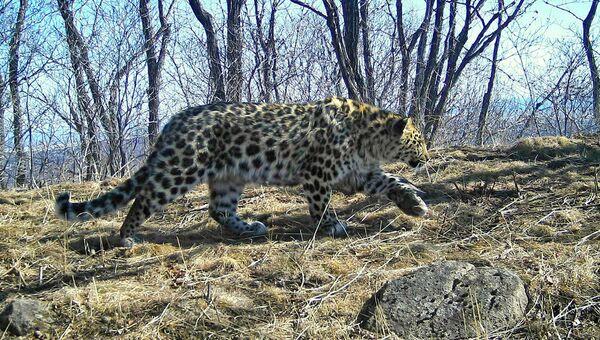 Дальневосточный леопард, впервые зафиксированный у границы с КНДР. Архивное фото
