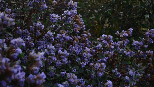 Растение неелакуринджи