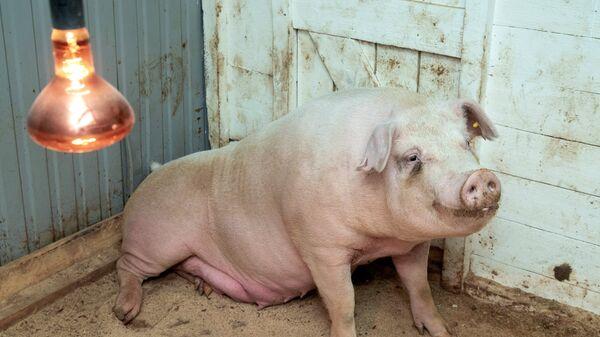 Свинка Роза из Пензы, которая забеременела после операции по лечению бесплодия с помощью уникального российского робота-хирурга и родила шестерых поросят, на послеоперационной площадке Пензенского ГАУ