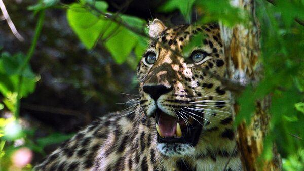 РФ предложила создать международную базу идентификации крупных кошек Азии