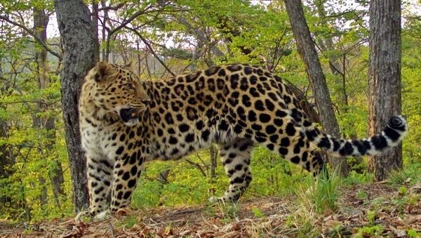 В нацпарке Земля леопарда начался новый этап мониторинга леопардов