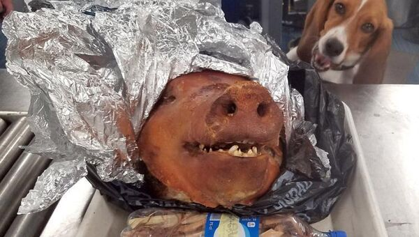Голова свиньи, обнаруженная в багаже путешественника из Эквадора в аэропорту Атланты