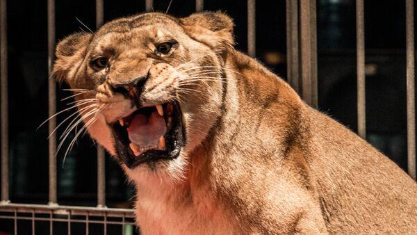 Львица в цирке