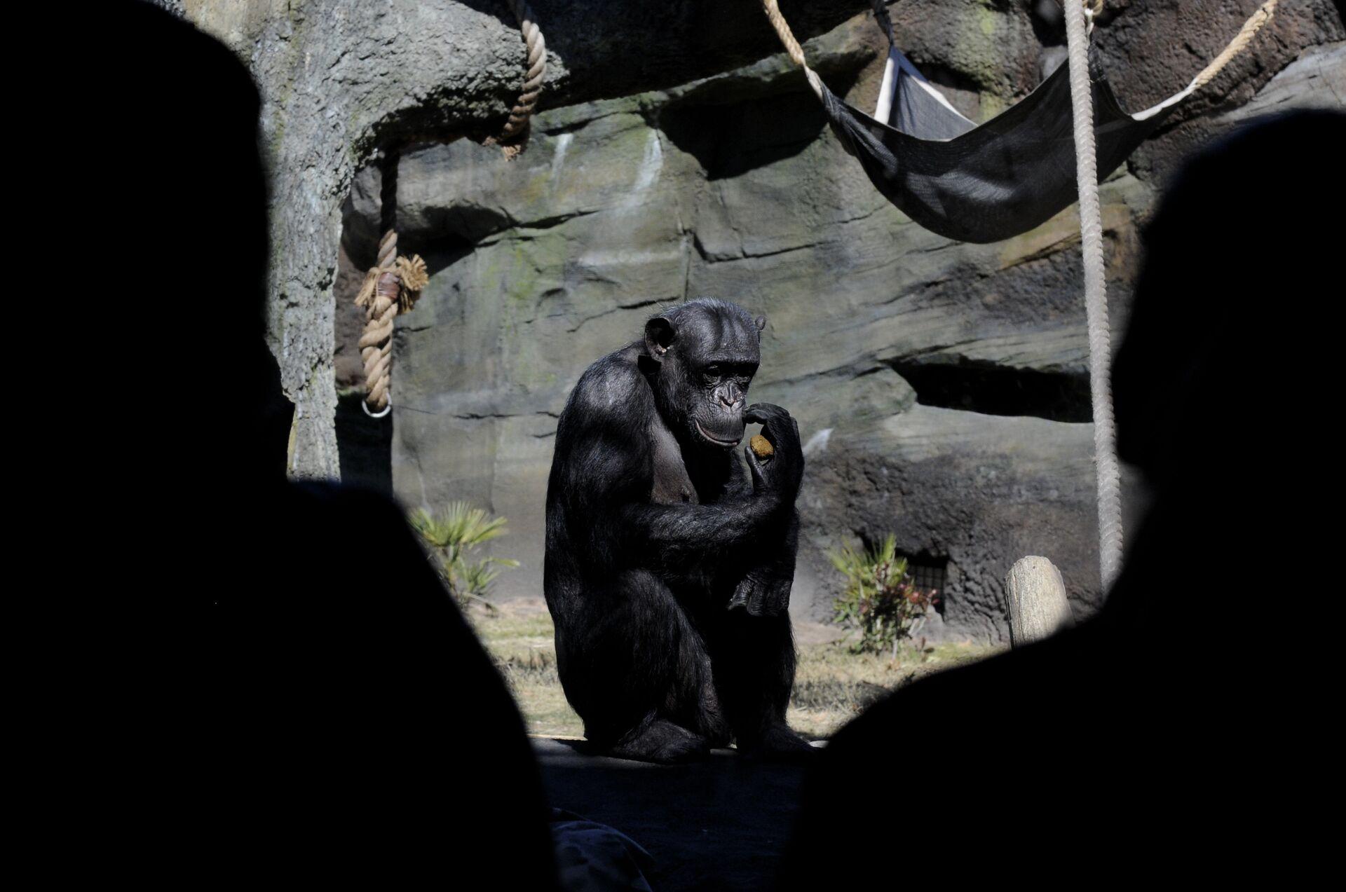 Шимпанзе в Хьюстонском зоопарке - РИА Новости, 1920, 02.02.2021