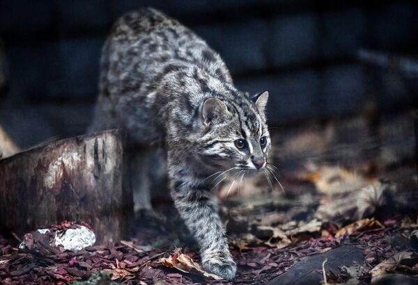 Пятимесячная самка амурского лесного кота в Московском зоопарке