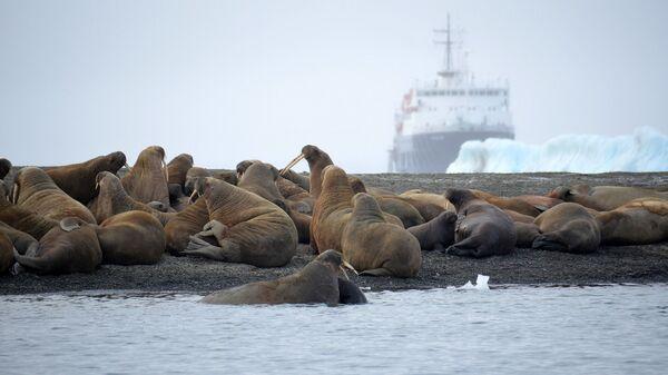 Атлантические моржи на территории архипелага Земля Франца-Иосифа в Северном Ледовитом океане