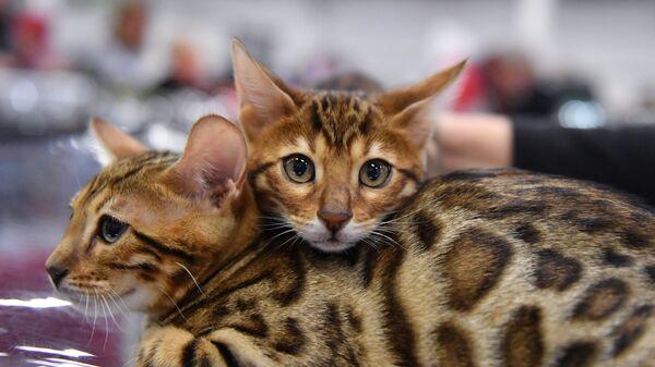 Кошки породы бенгальская на выставке КоШарики Шоу в конгрессно-выставочном центре Сокольники в Москве