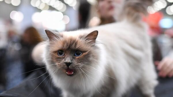 Кошка породы священная бирманская. Архивное фото
