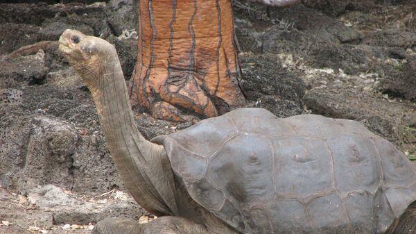 Одинокий Джордж, последняя гигантская слоновая черепаха с Галапагосских островов