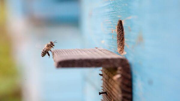 Пчела подлетает к входу в улей на пасеке