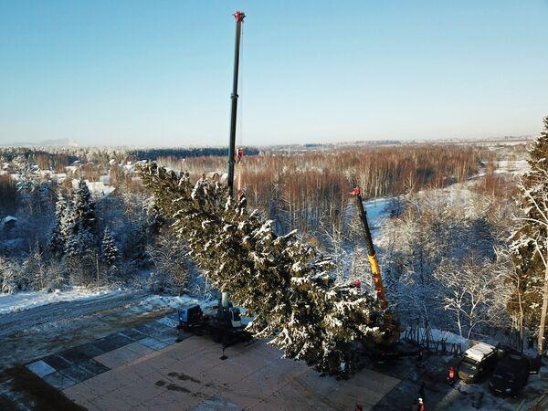 Рубка главной новогодней ели страны в Московской области