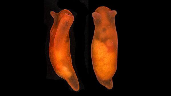 Морской слизень Vayssierea elegans
